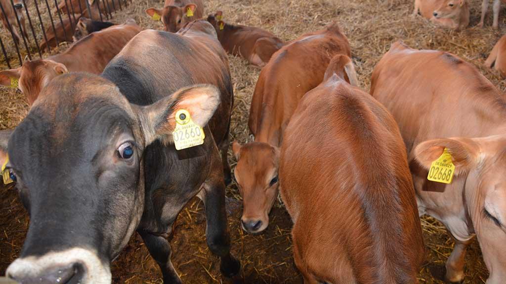 Tyrekalve der hvor man producerer mælk?