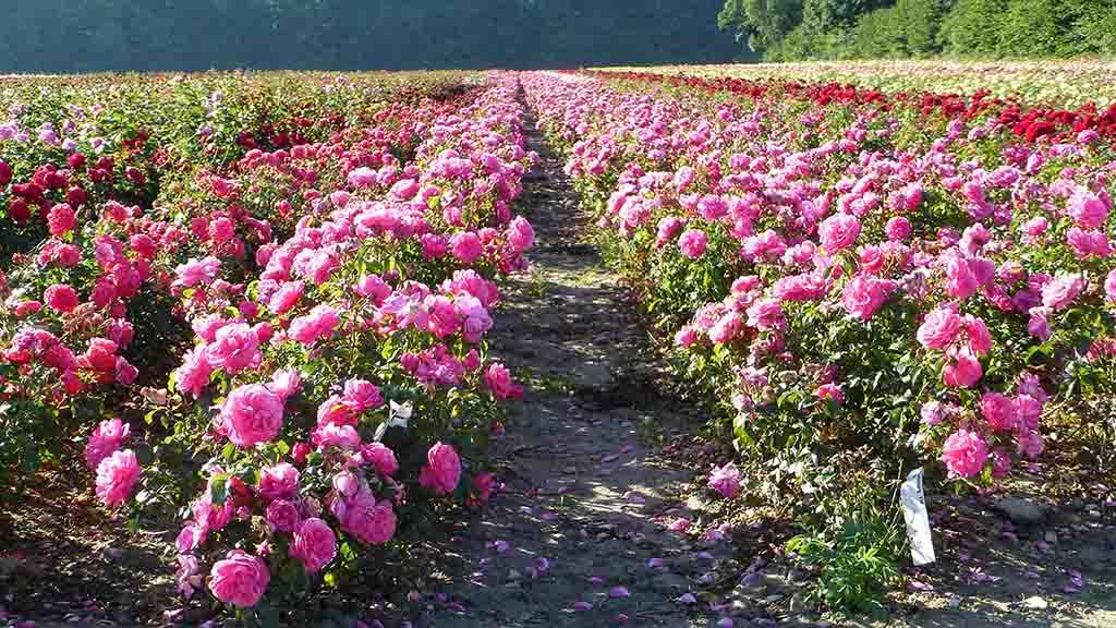 rosenmarker